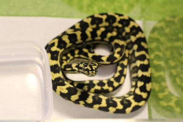 ジャングルカーペットパイソン、咬蛇姿勢です