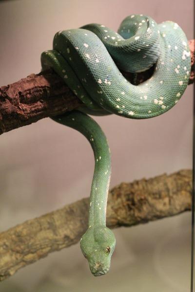 グリーンパイソンのブルーコンドロ、頭部と体幹で色が違います