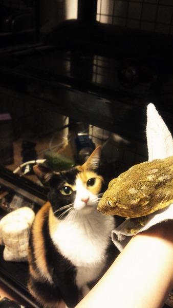 ツギオミカドヤモリと猫