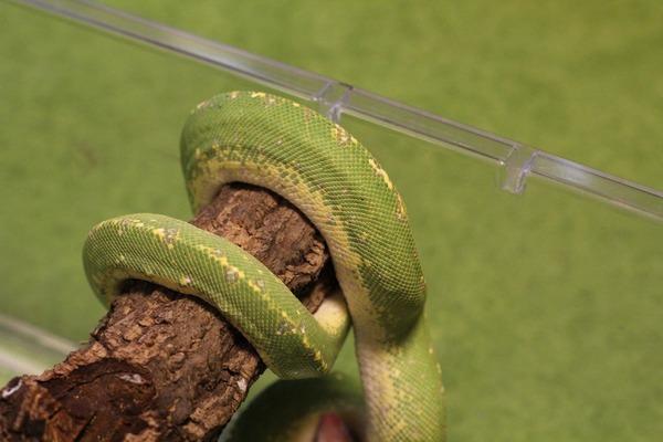 グリーンパイソン、質感に魅せられます