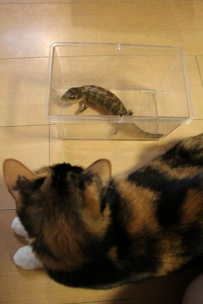 キメラアオジタトカゲと猫