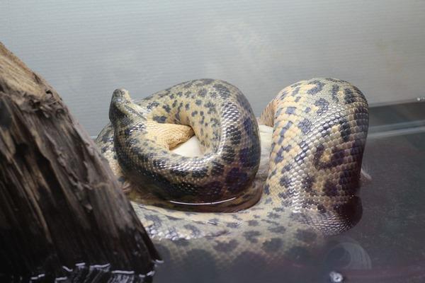 キイロアナコンダ、お食餌風景