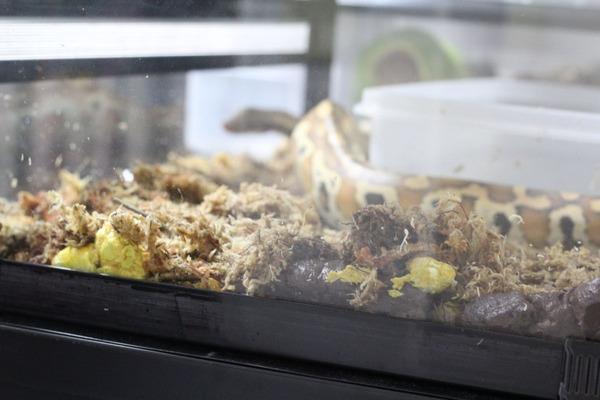 マラヤンブラッドパイソンの糞です