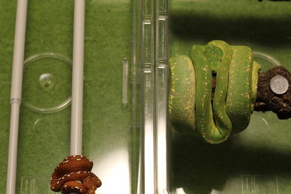 グリーンパイソン2匹と1円玉を並べてみると