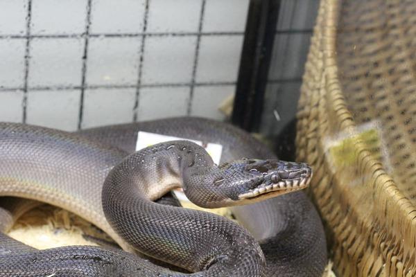 アルバーティスパイソン、「シロクチニシキヘビ」です