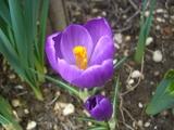 紫クロッカス開花