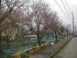 桜一分咲き?