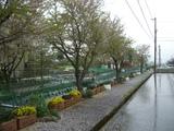 雨の散りゆく桜