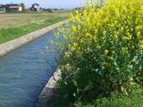 田園の中で菜の花