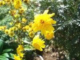 秋の代表菊