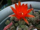 サボテンの花赤