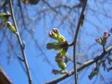 桜のつぼみ膨らむ