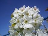 快晴の中で梨の花