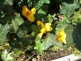 クロッカス咲く1