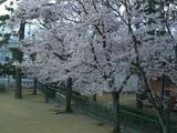 根上青年の家桜7