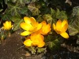 クロッカス黄色2
