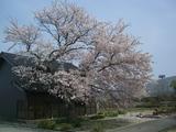 桜の古木満開