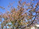 桜の紅葉も終わり