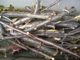 桜の木伐採