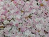歩道を埋め尽くした桜の花びら