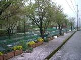 定点撮影090415歩道が花びらで