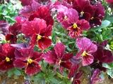 赤紫のビオラ