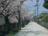 市内桜名所7-石畳に映える桜並木