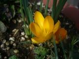 クロッカス咲く2