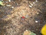 球根の新芽