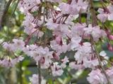 満開名残惜しい桜