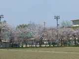 小学校の桜並木2