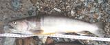 久々の尺越え岩魚