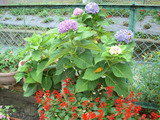 紫陽花とサルビア