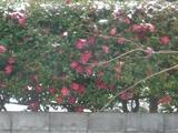 寒椿の垣根