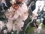 春、桃の花