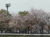 小学校の桜並木