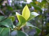 萌黄色若葉