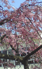 根上青年の家桜1