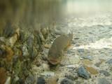 放流された岩魚