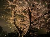 名残惜しい夜桜1