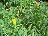 復活マリーゴールドの花芽