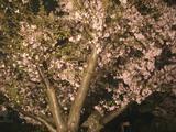 名残惜しい夜桜2