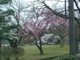 金沢広坂の桜