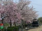 市内桜名所9