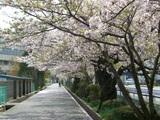 市内桜名所5
