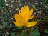 黄色クロッカス開花