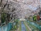用水沿いの桜