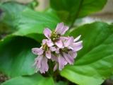 ツワブキの花?