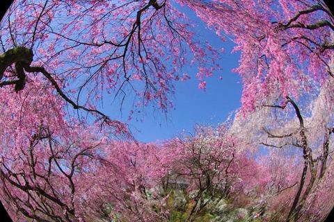 2013-4-5~桜の京都 126_2019-04-11_05.00.12 (3)