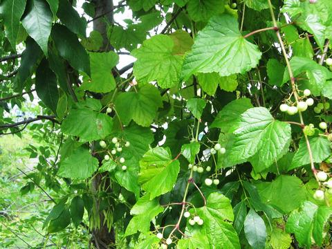 ブスの実の木
